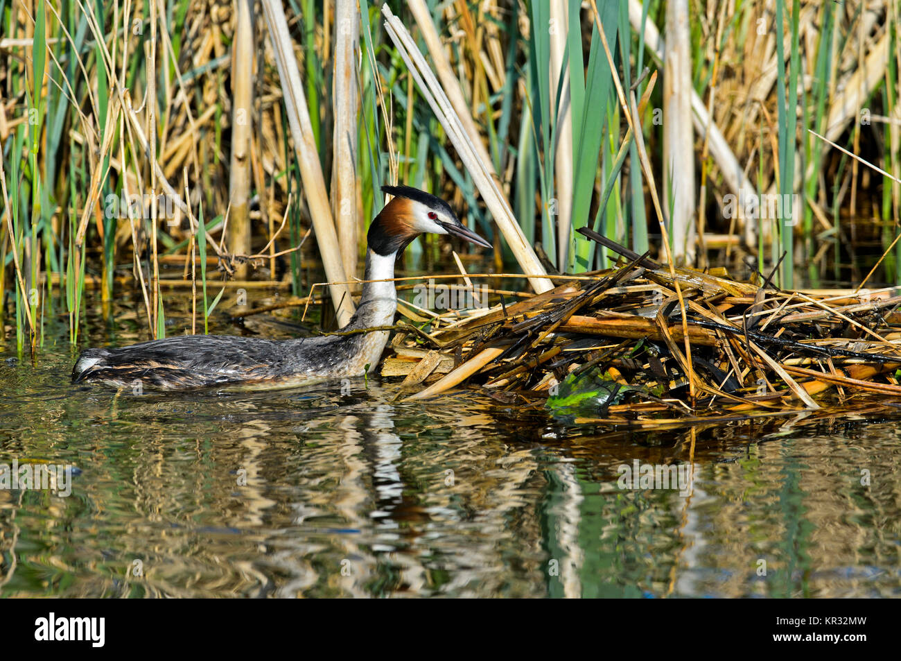 Great crested grebe (Podiceps cristatus) at the nest, Netherlands - Stock Image
