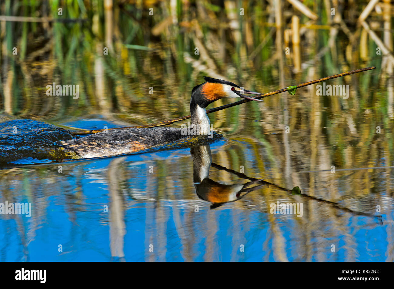 Great crested grebe (Podiceps cristatus) bringing nesting material to the nest, Netherlands - Stock Image
