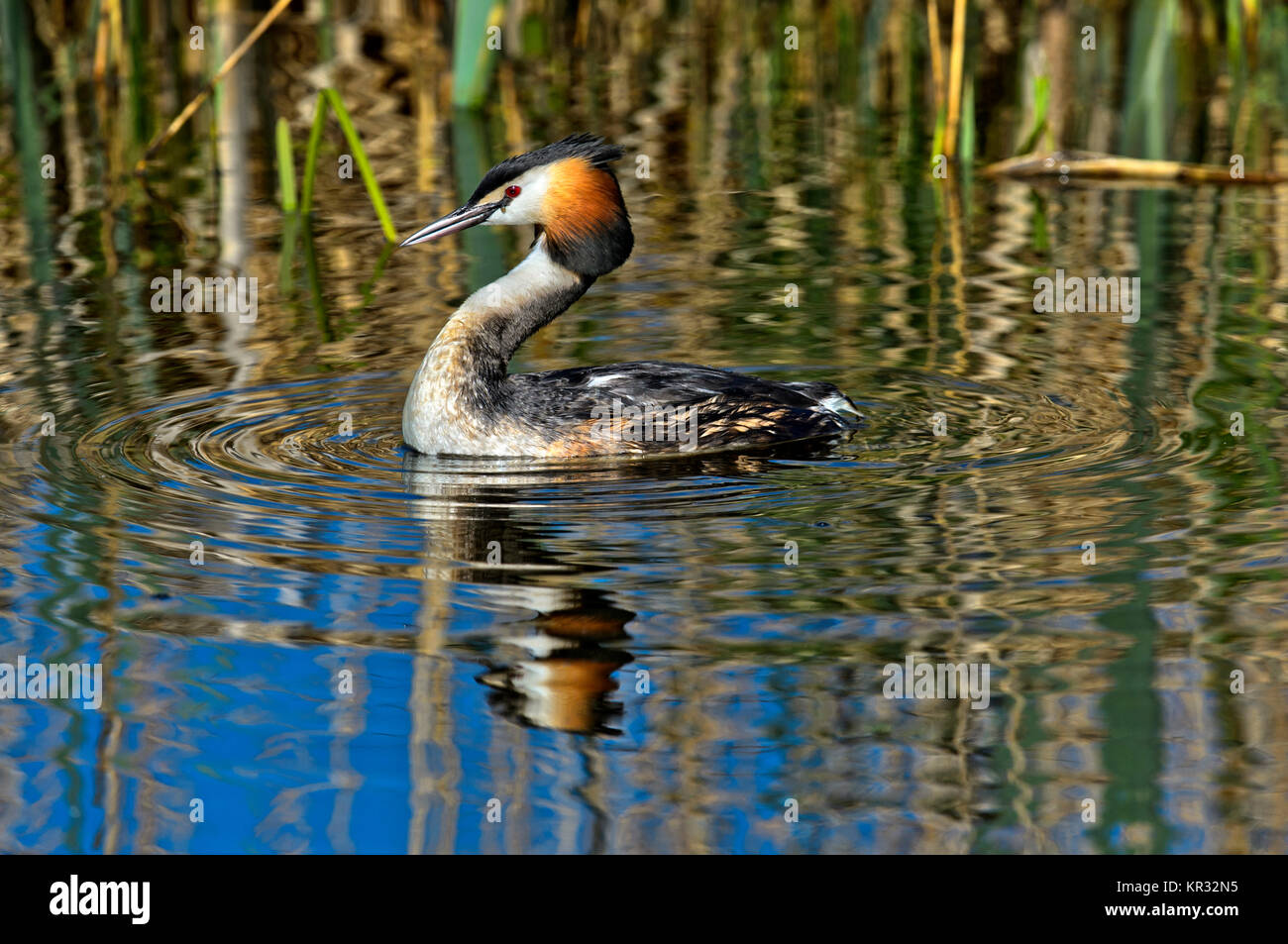 Great crested grebe (Podiceps cristatus), Podicipedidae family, Kinderdijk, Netherlands - Stock Image