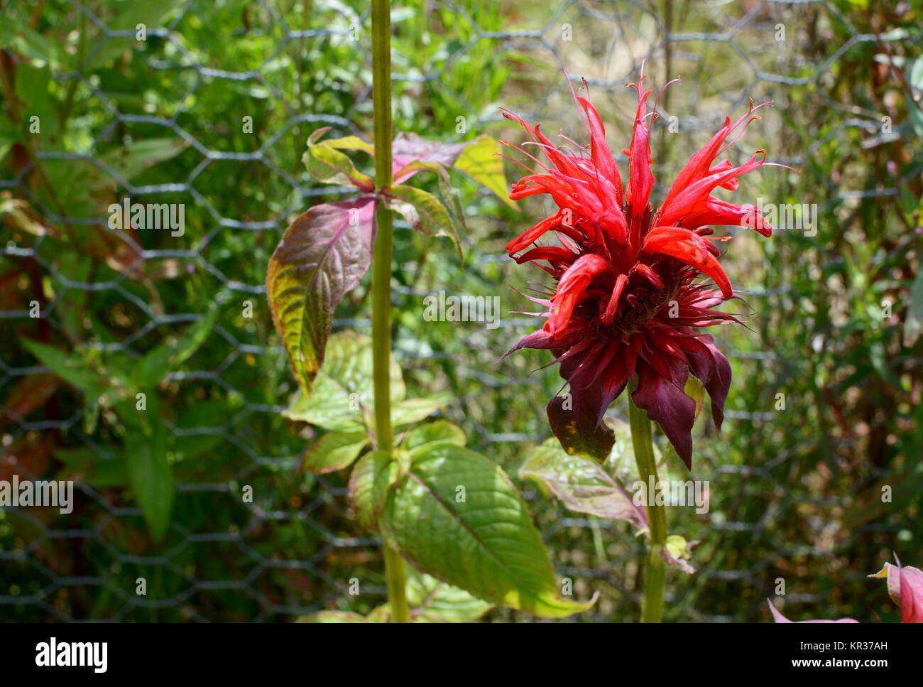 Red bergamot flower - Stock Image