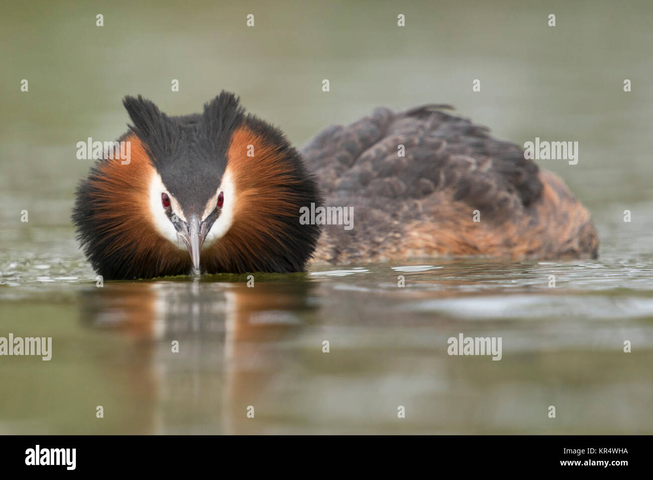 Great Crested Grebe ( Podiceps cristatus ) swims in flatten pose, searching for its partner, courting, frontal shot, - Stock Image