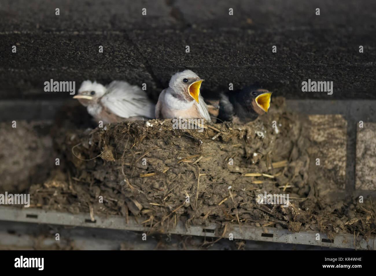 Barn Swallow / Swallows ( Hirundo rustica ), leucistic chicks in nest, white plumage, rare pigment defect, leucism, - Stock Image