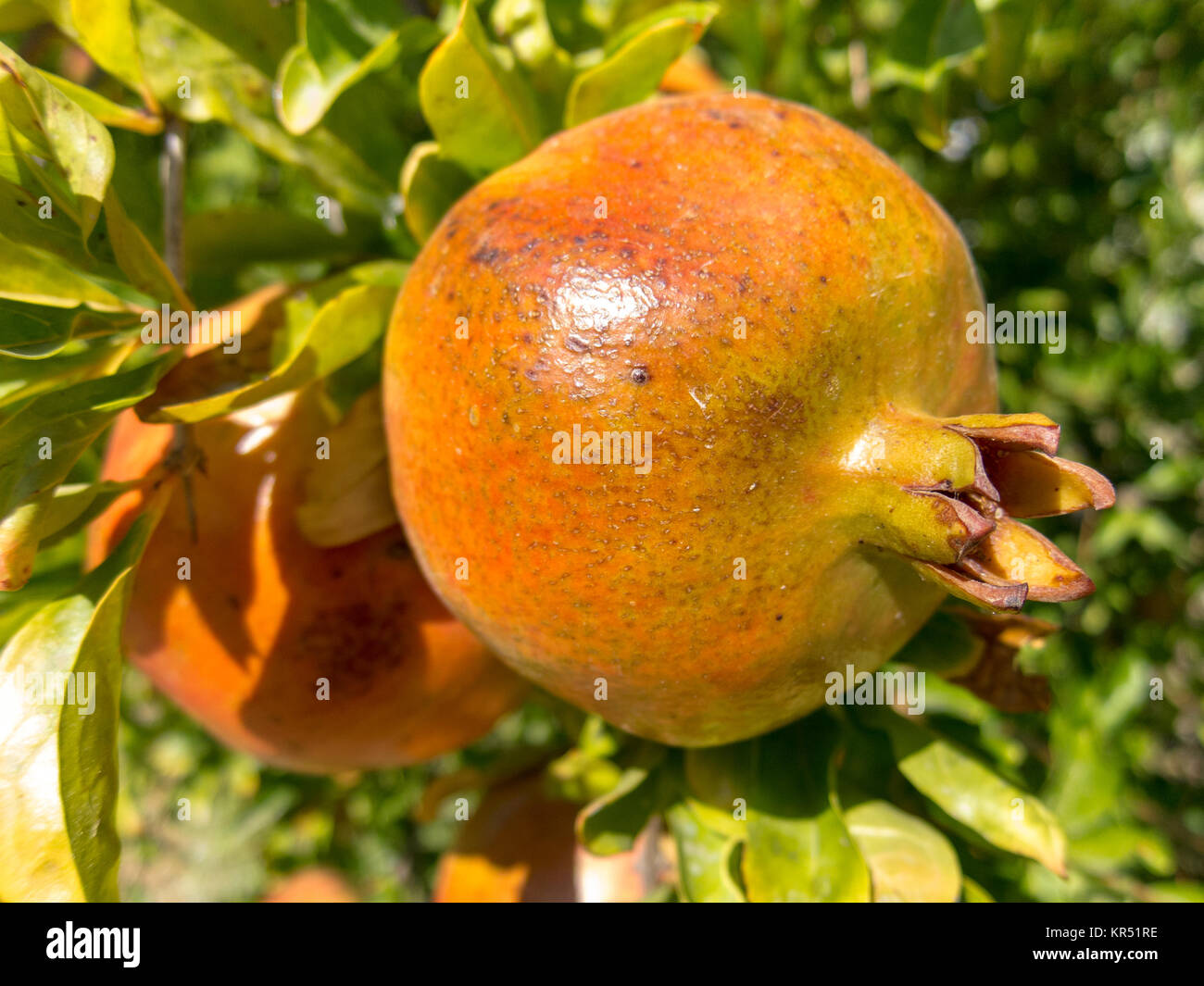 Pomegrante growing on a tree Punica granatum - Stock Image