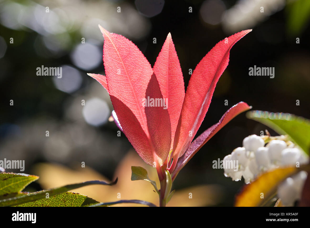 Beautiful red leafs closeup in bright sunlight on blurred background - Stock Image