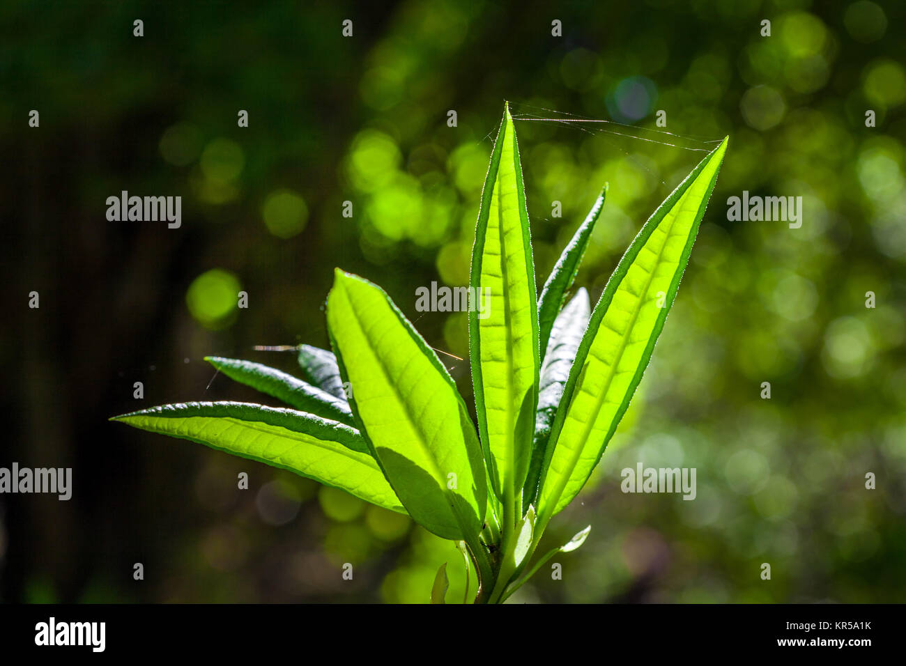 Vivid green rhododendron leaves in bright sunlight on blurred background - Stock Image