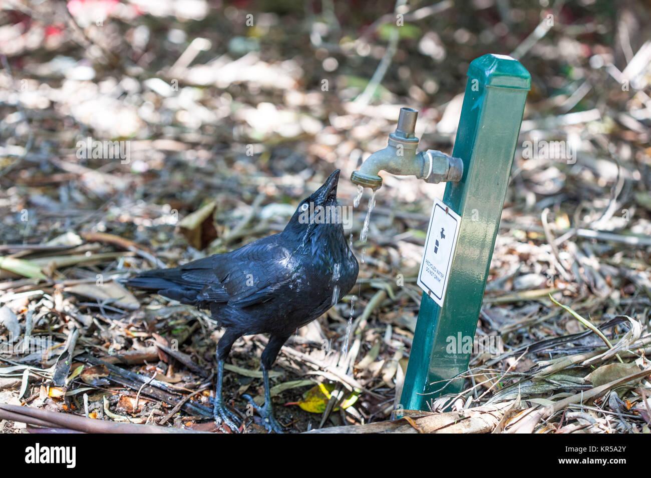 Black Australian Raven drinking water from tap - Stock Image