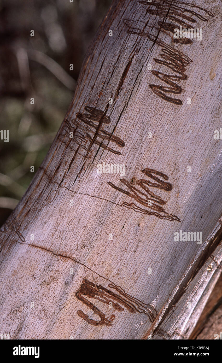 Moth larva trails on gum tree bark - Stock Image