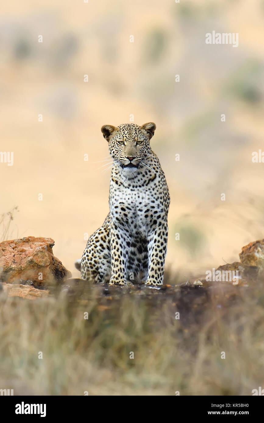 Wild african leopard. National park of Africa, Kenya - Stock Image