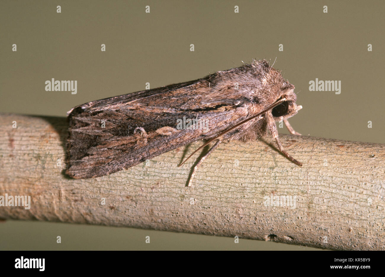 Inland Armyworm moth (Persectania dyscrita) - Stock Image