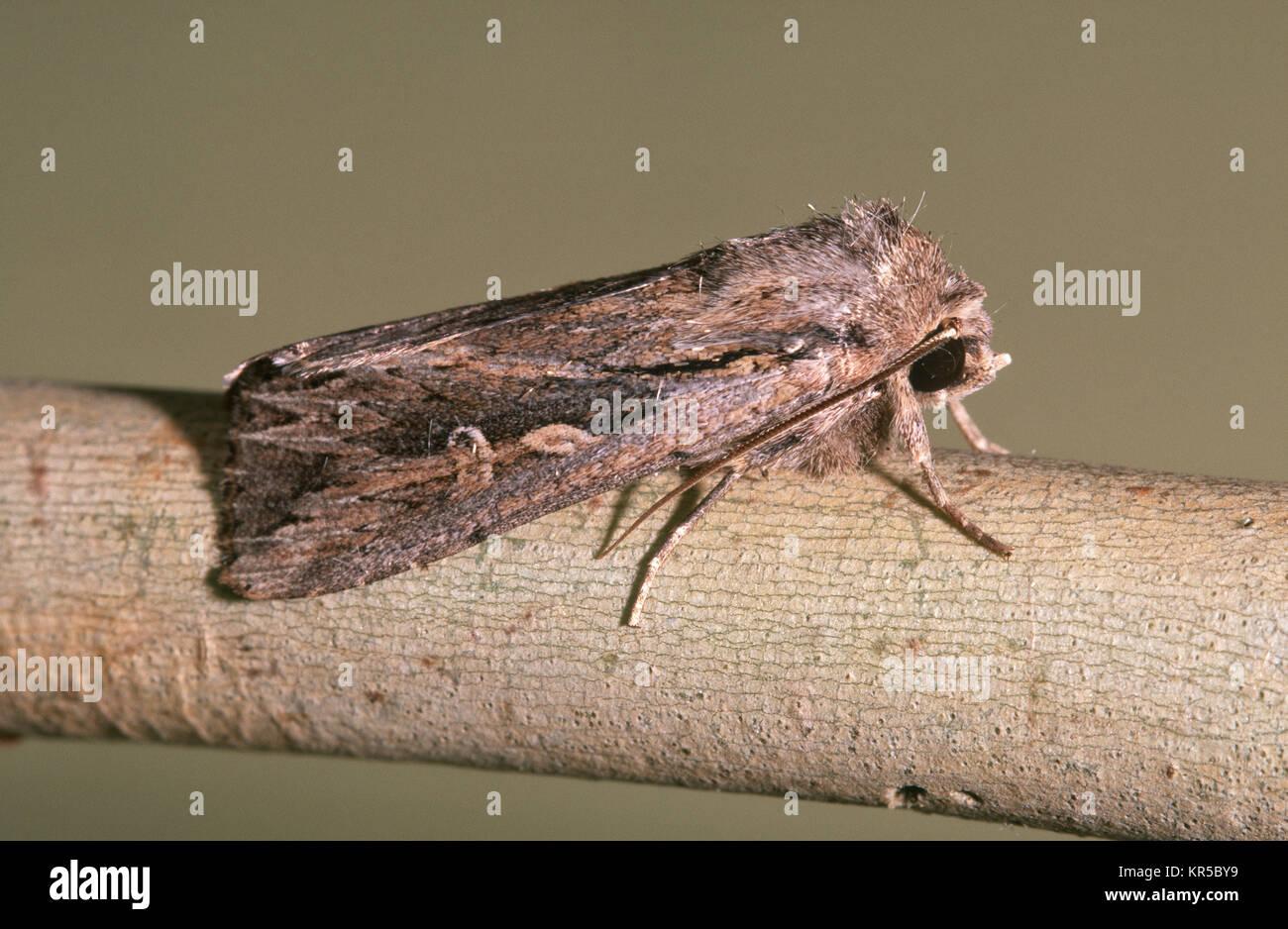 Inland Armyworm moth (Persectania dyscrita) Stock Photo