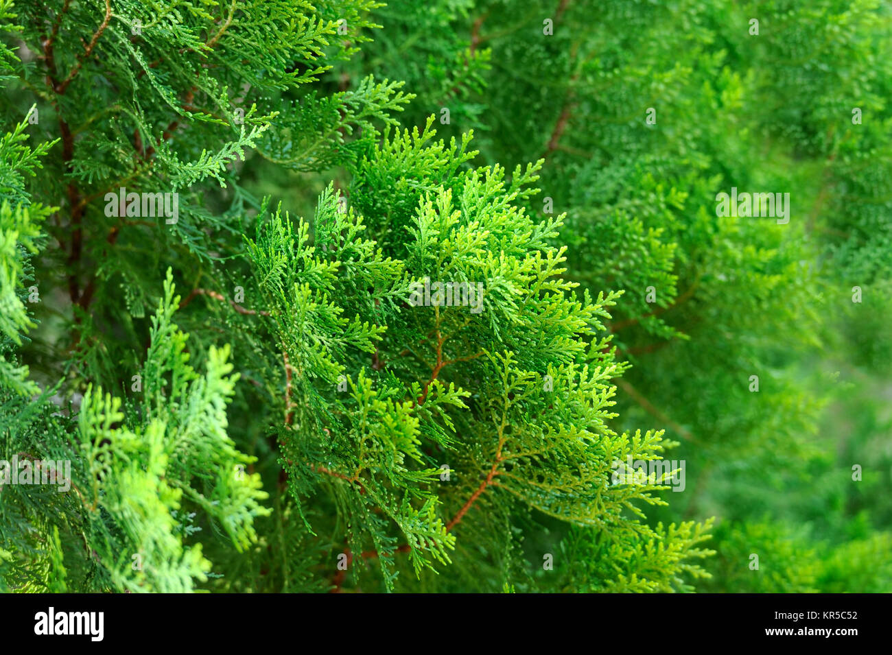 Green Thuja hedge texture close-up view - Stock Image