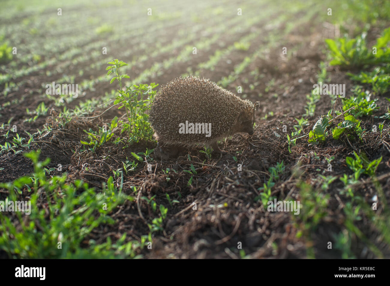 hedgehog at the field - Stock Image