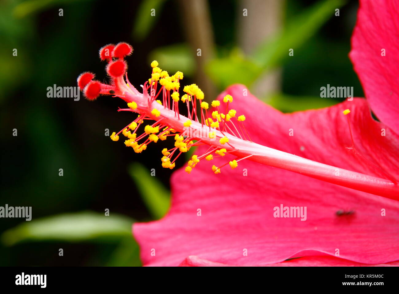 stamp and flower of a hibiscus flower Stock Photo