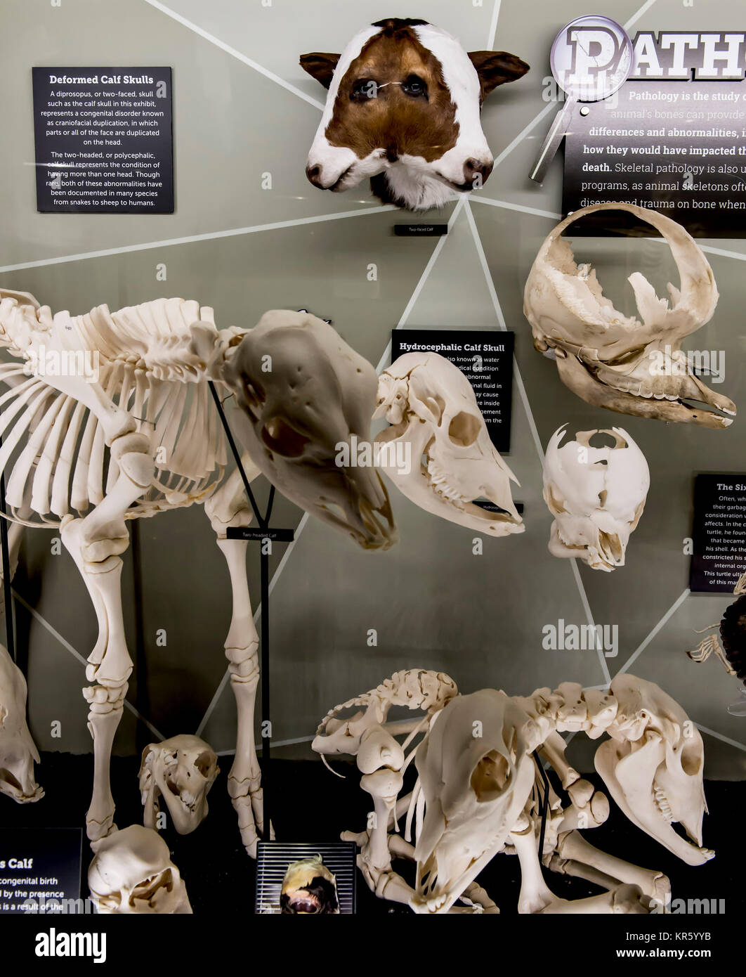 Osteology Museum Stock Photos Images Alamy Gallery And Information Snake Skeleton Diagram Orlando Florida Usa 17th Dec 2017 The Of