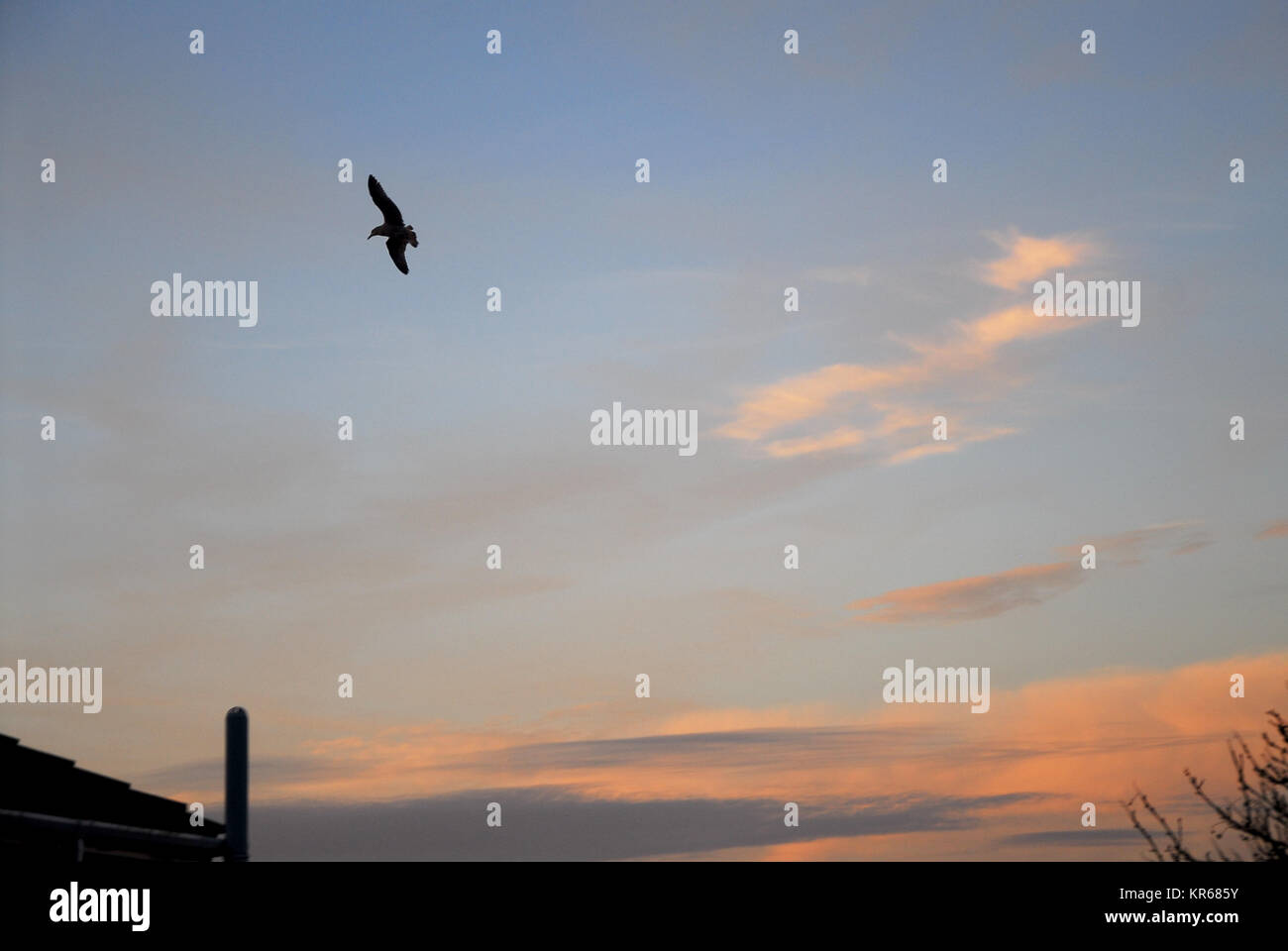 Portland, Dorset. 19th December 2017 - A seagull soars in front of candy-floss clouds in Fortuneswell, Isle of Portland - Stock Image
