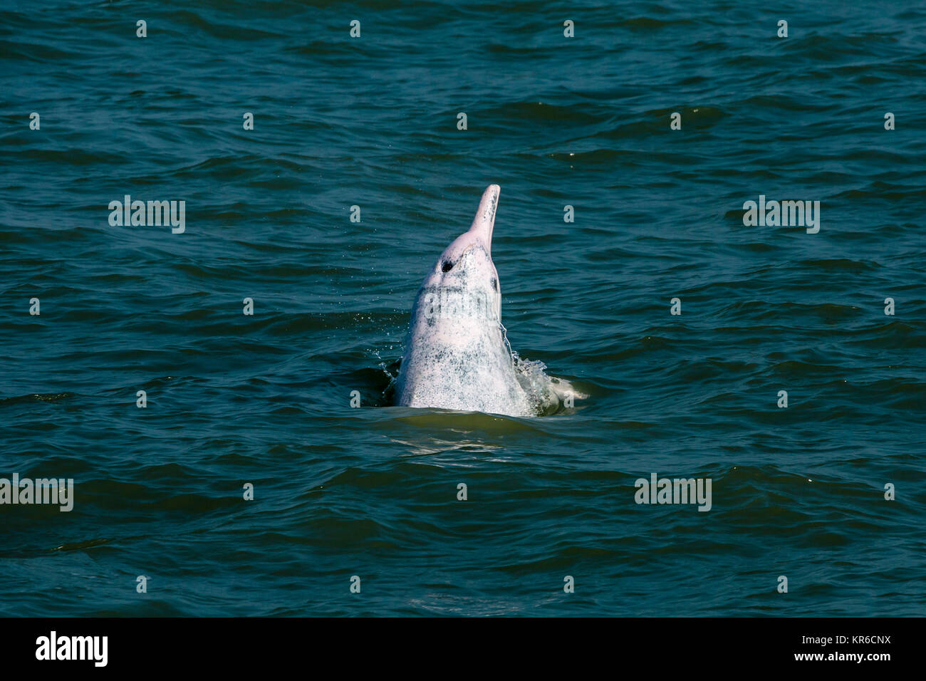 Indo-Pacific Humpback Dolphin / Chinese White Dolphin / Pink Dolphin (Sousa Chinensis) in the waters of Hong Kong, - Stock Image