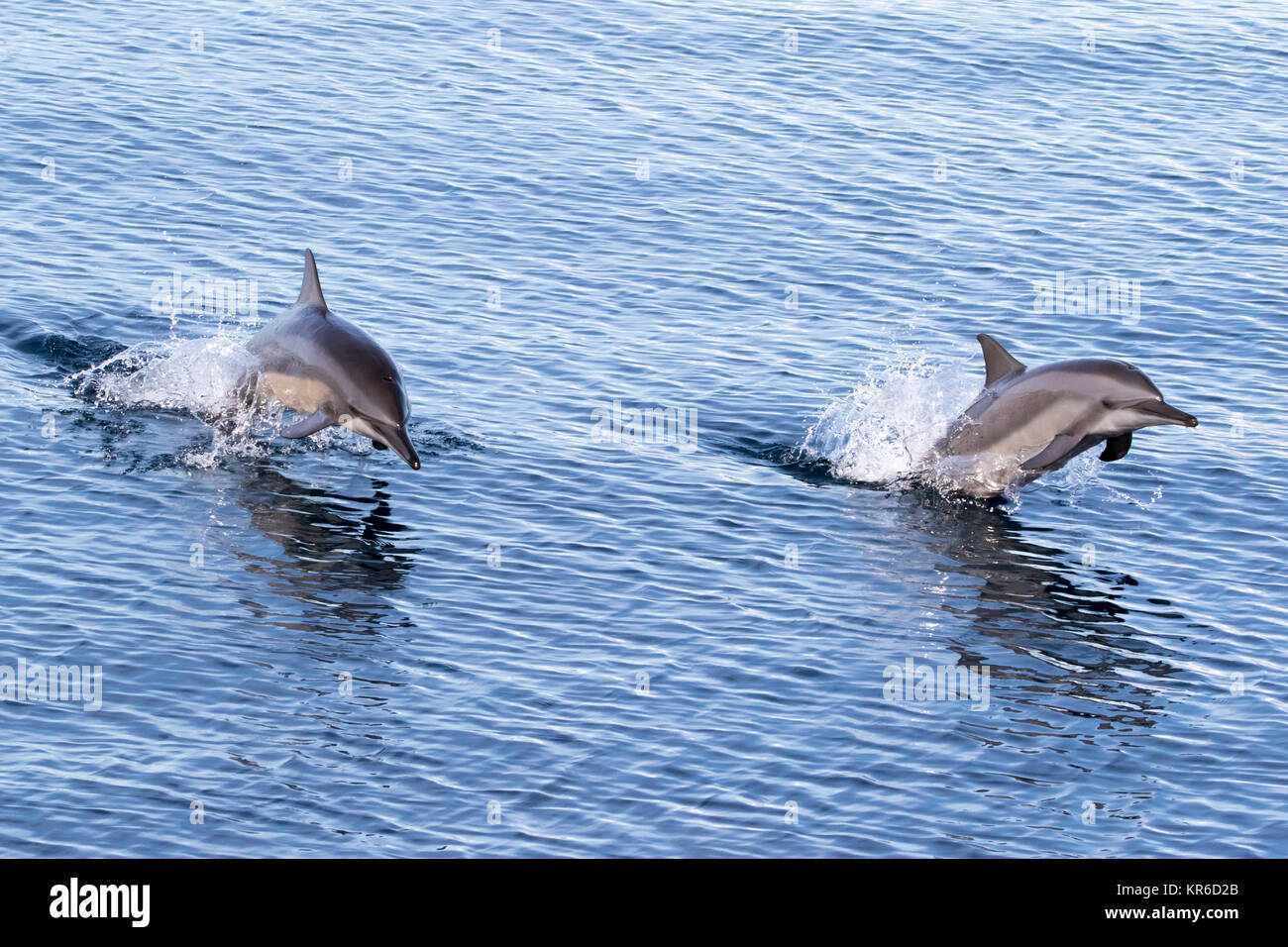 Spinner Dolphin (Stenella longirostris) leaping and coming over to the boat for fun Stock Photo