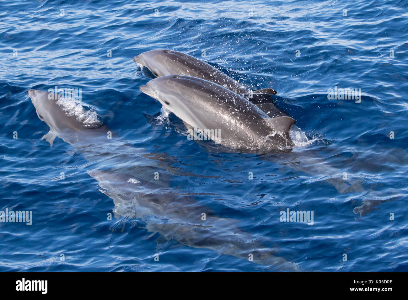 Fraser's dolphin (Lagenodelphis hosei) or the Sarawak dolphin getting close to the boat in large group Stock Photo