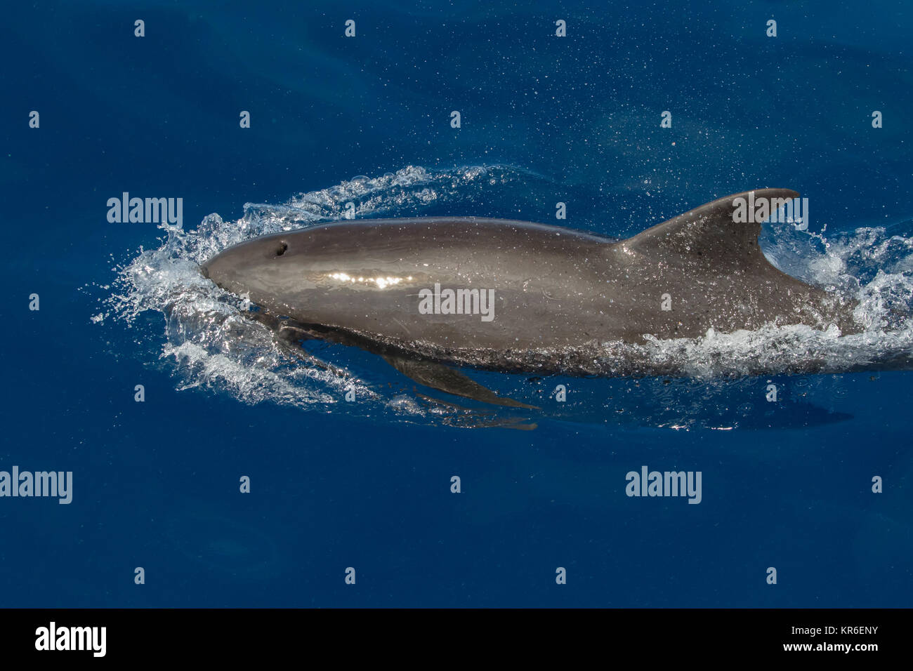 Melon-headed Whale or Melon-headed Dolphin (Peponocephala electra) coming close to the boat in a large pod, mixed - Stock Image