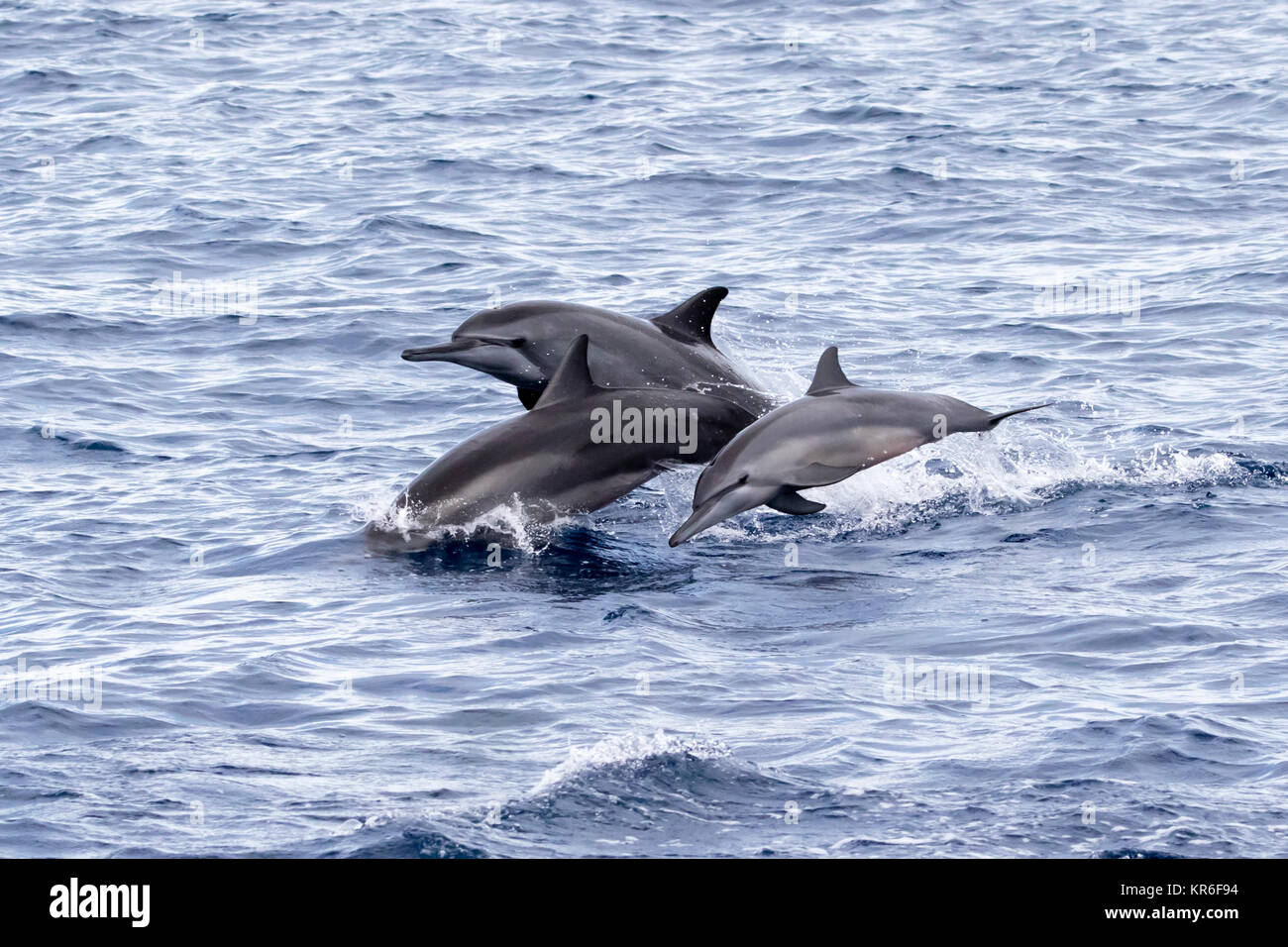Spinner Dolphin (Stenella longirostris) leaping and coming over to the boat for fun - Stock Image