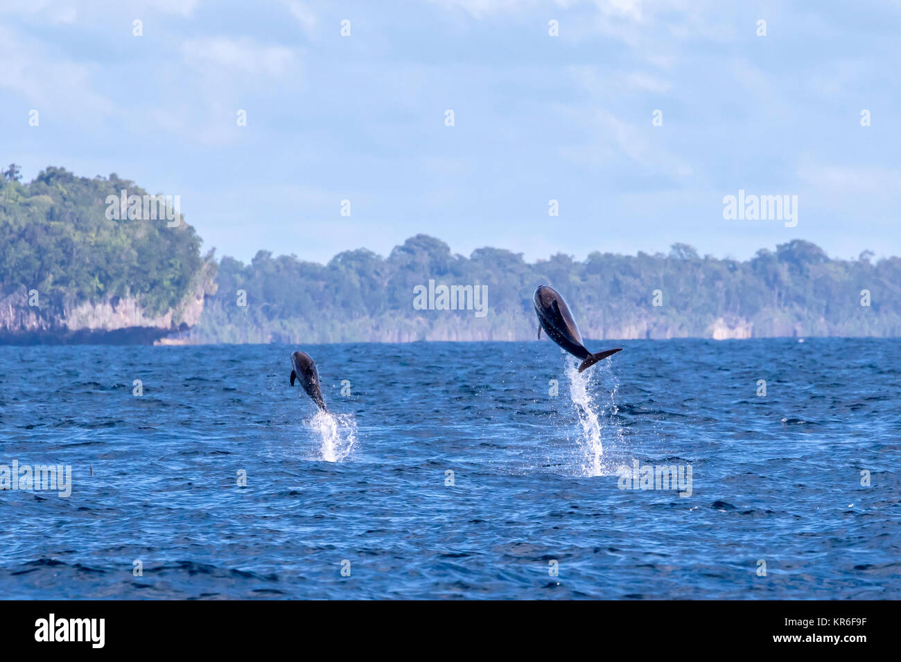 Common Bottlenose Dolphin (Tursiops truncates) mother and calf leaping up high Stock Photo