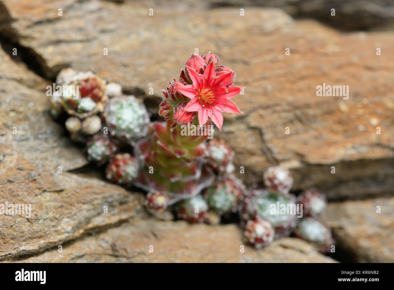 cobweb houseleek,sempervivum arachnoideum,rock plant - Stock Image