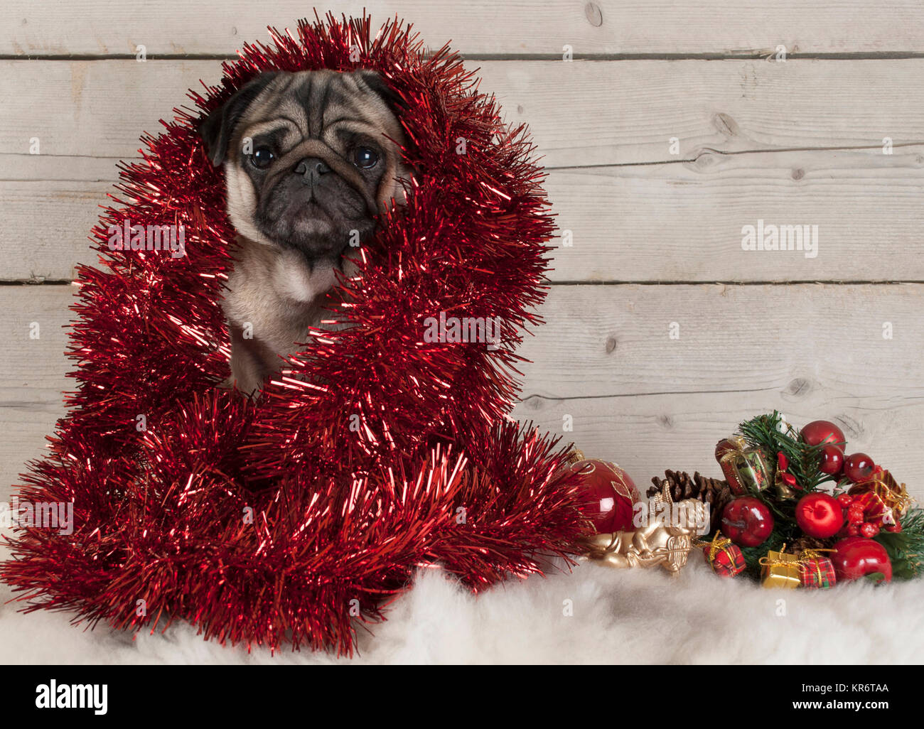 cute Christmas pug puppy dog decorated with tinsel, sitting down on sheepskin with ornaments and wooden backdrop - Stock Image