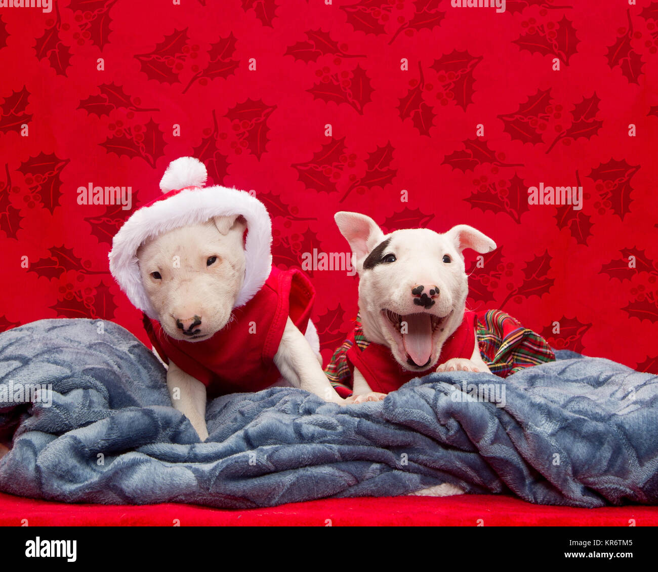 Two bull terrier puppies trying to get good for their Christmas photo - Stock Image