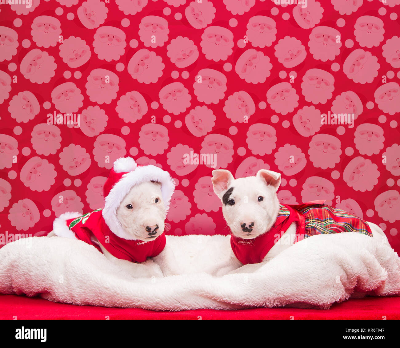 Two bull terrier puppies posed for their Christmas photo - Stock Image