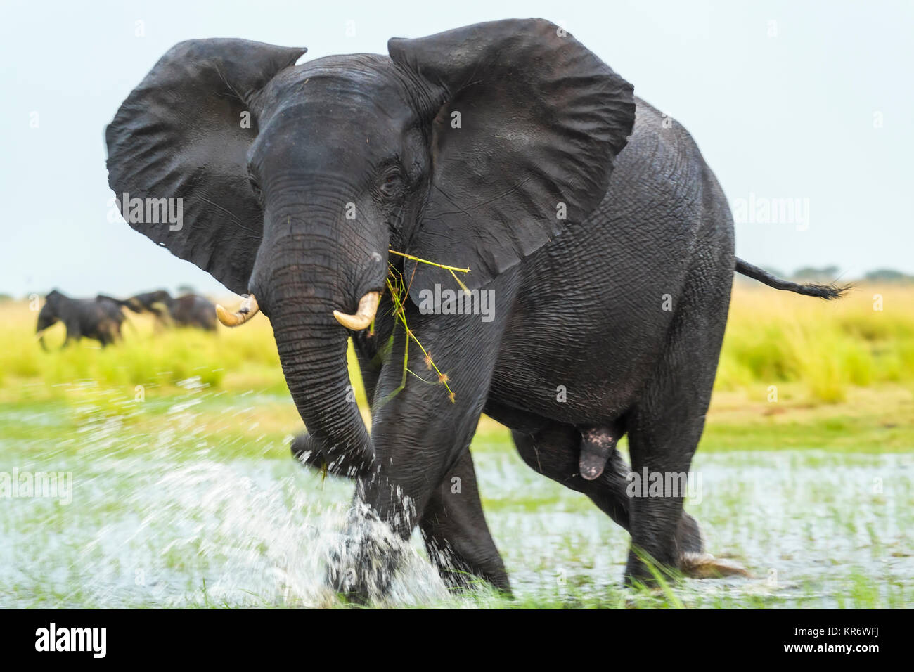 African elephant (Loxodonta africana) wading through a watering hole, eating grass. - Stock Image