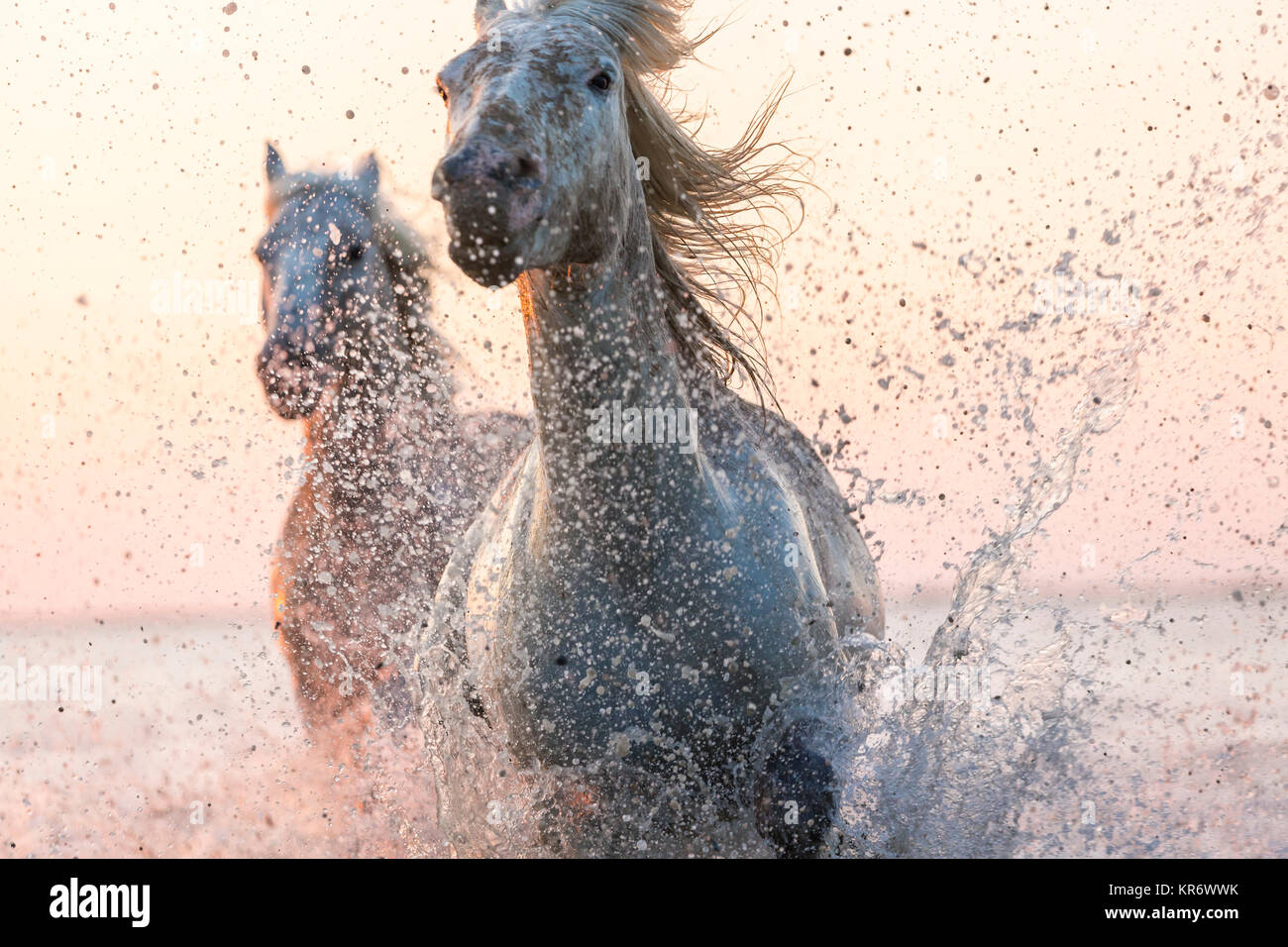 Wild Horse Running High Resolution Stock Photography And Images Alamy