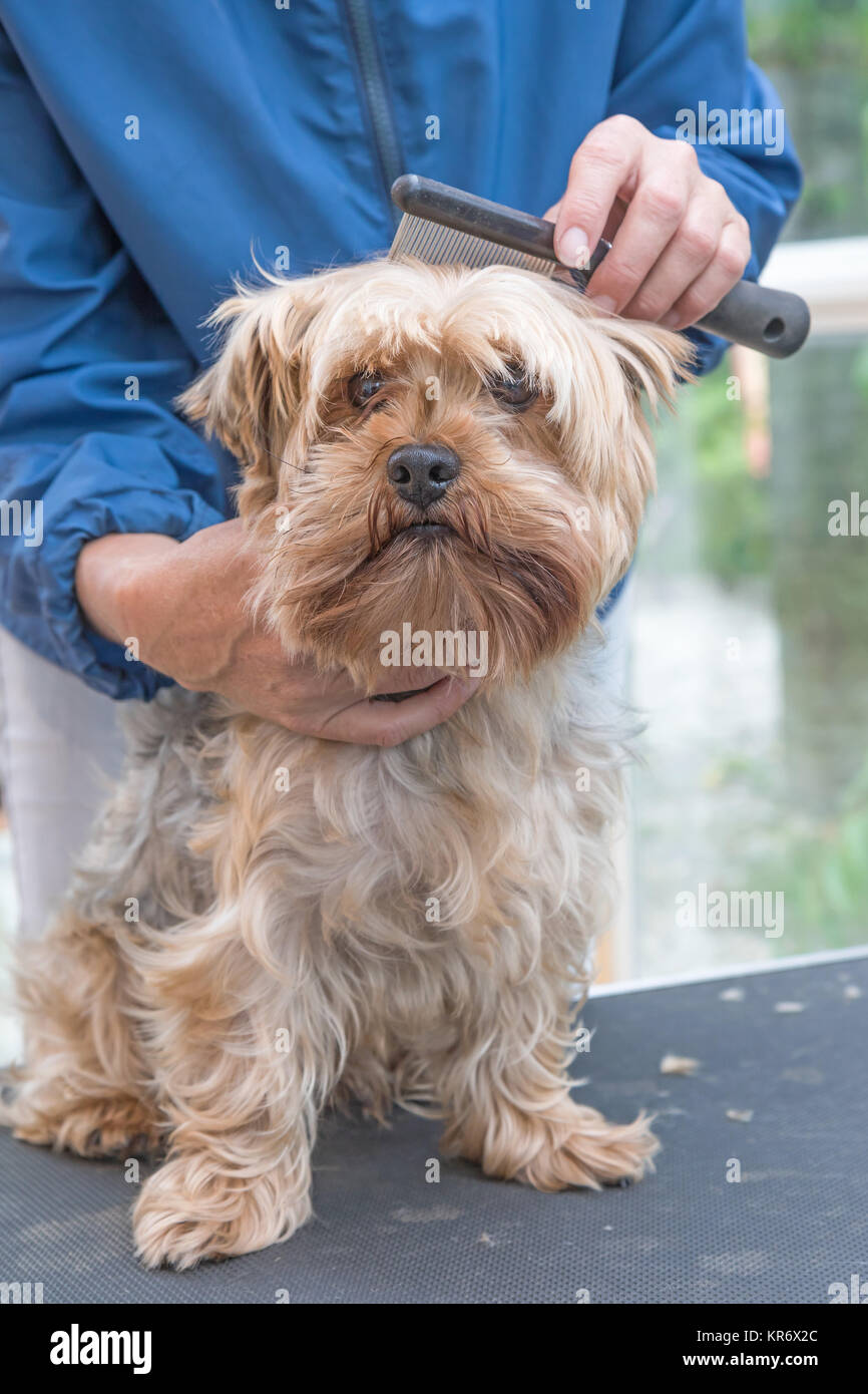 Combing Yorkshire terrier dog. Vertically. - Stock Image