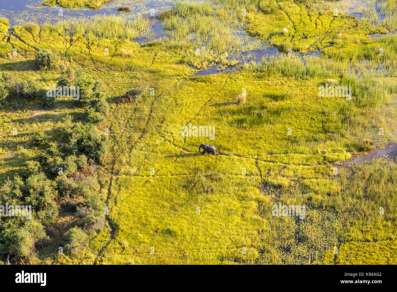 Aerial view of African Elephant walking across lush delta. - Stock Image