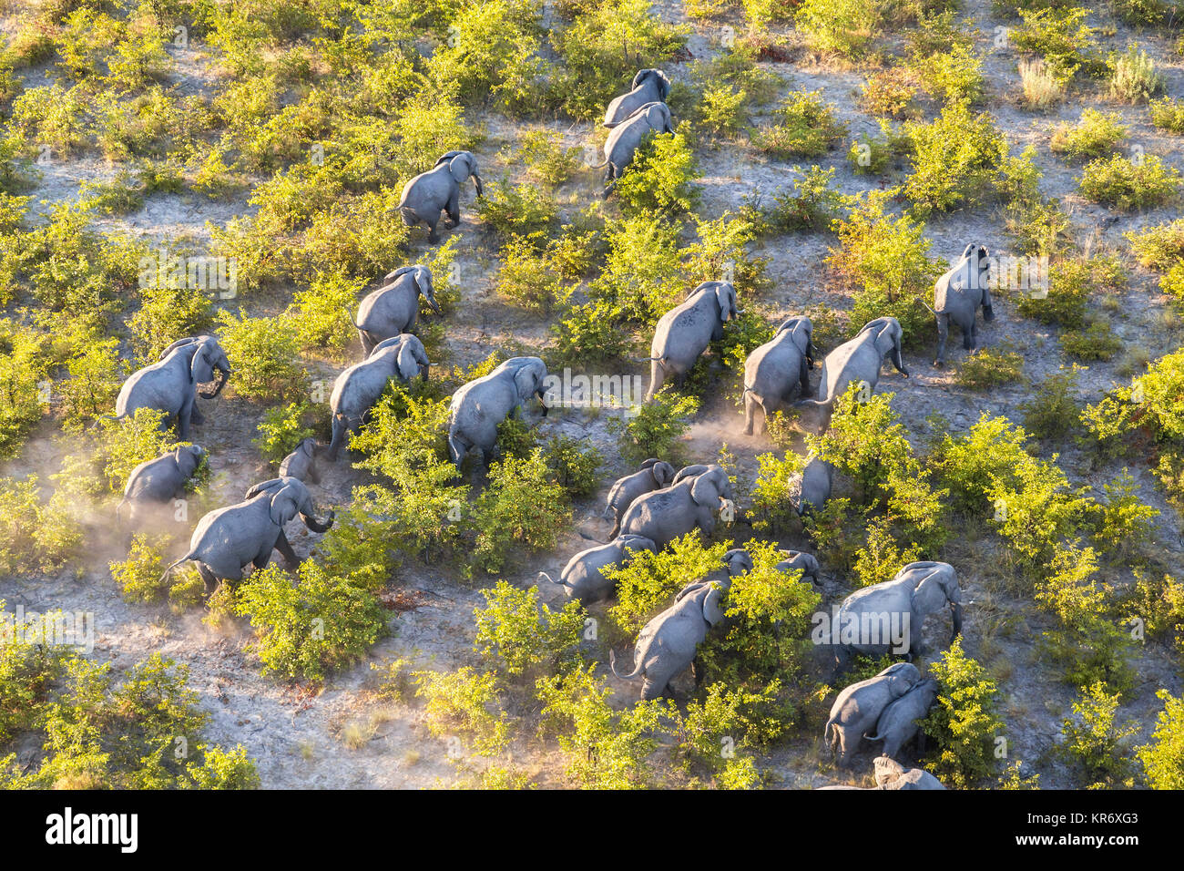 Aerial view of herd of African Elephants walking through the bush in lush delta. - Stock Image