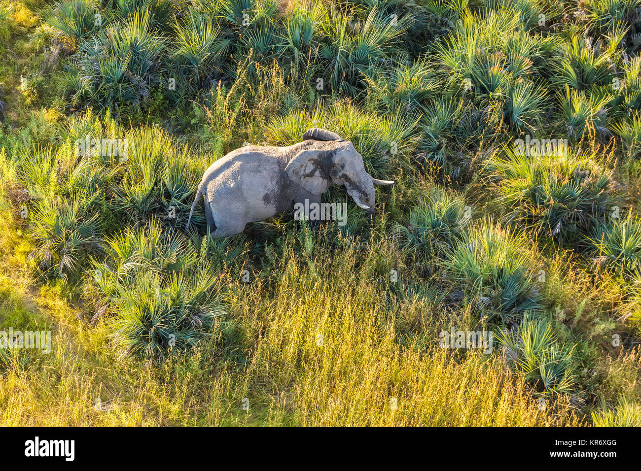 Aerial view of African Elephant standing in lush delta. - Stock Image