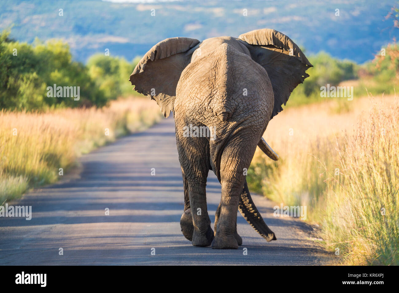 Rear view of African Elephant walking along a rural road. - Stock Image