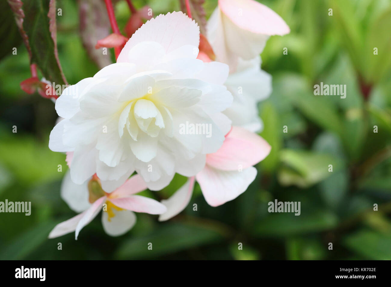 Begonia, Hanging open white flower head with a touch of yellow in the centre. - Stock Image