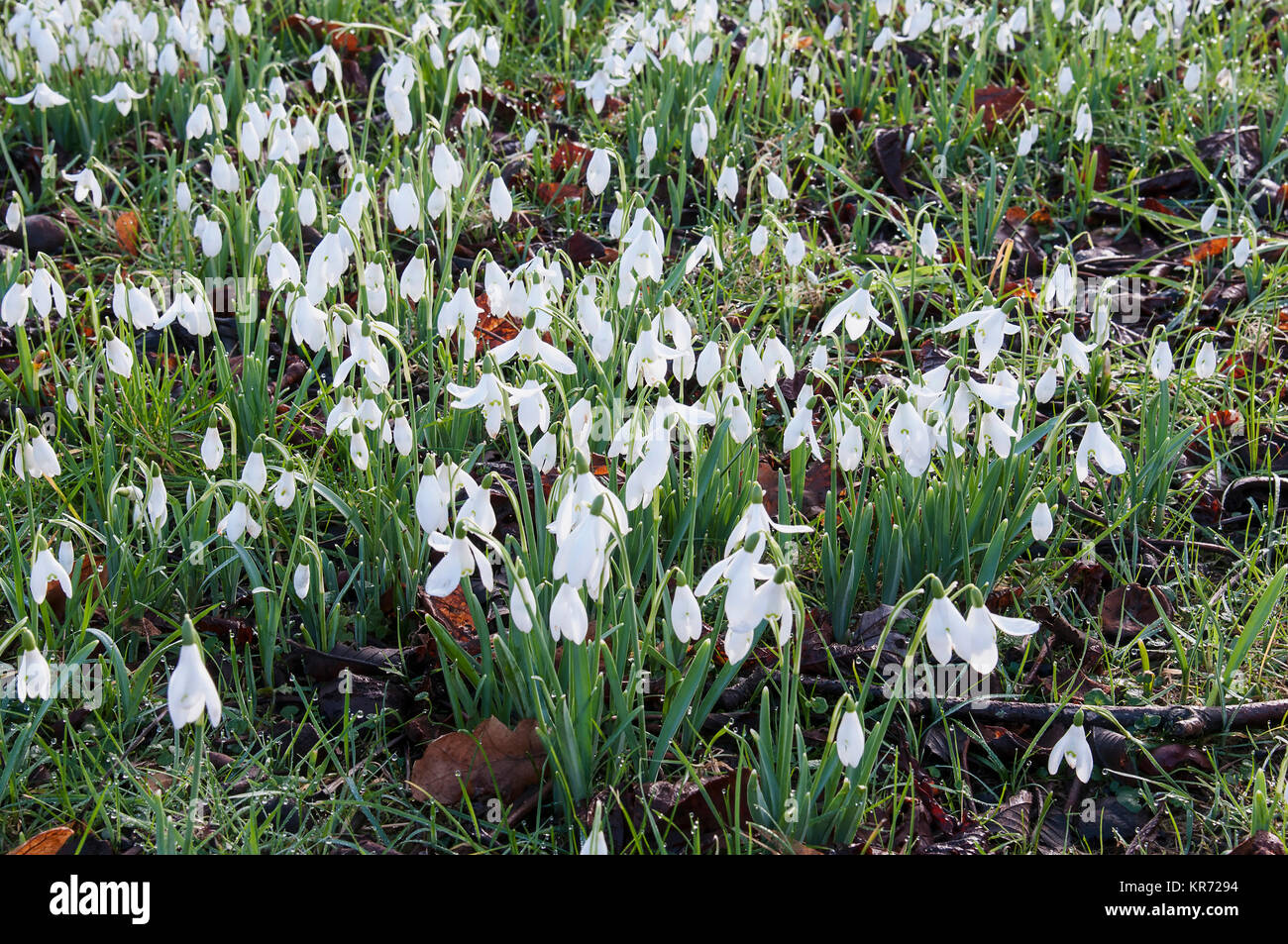 Snowdrop Galanthus Small White Flowers Growing Outdoor In Grass