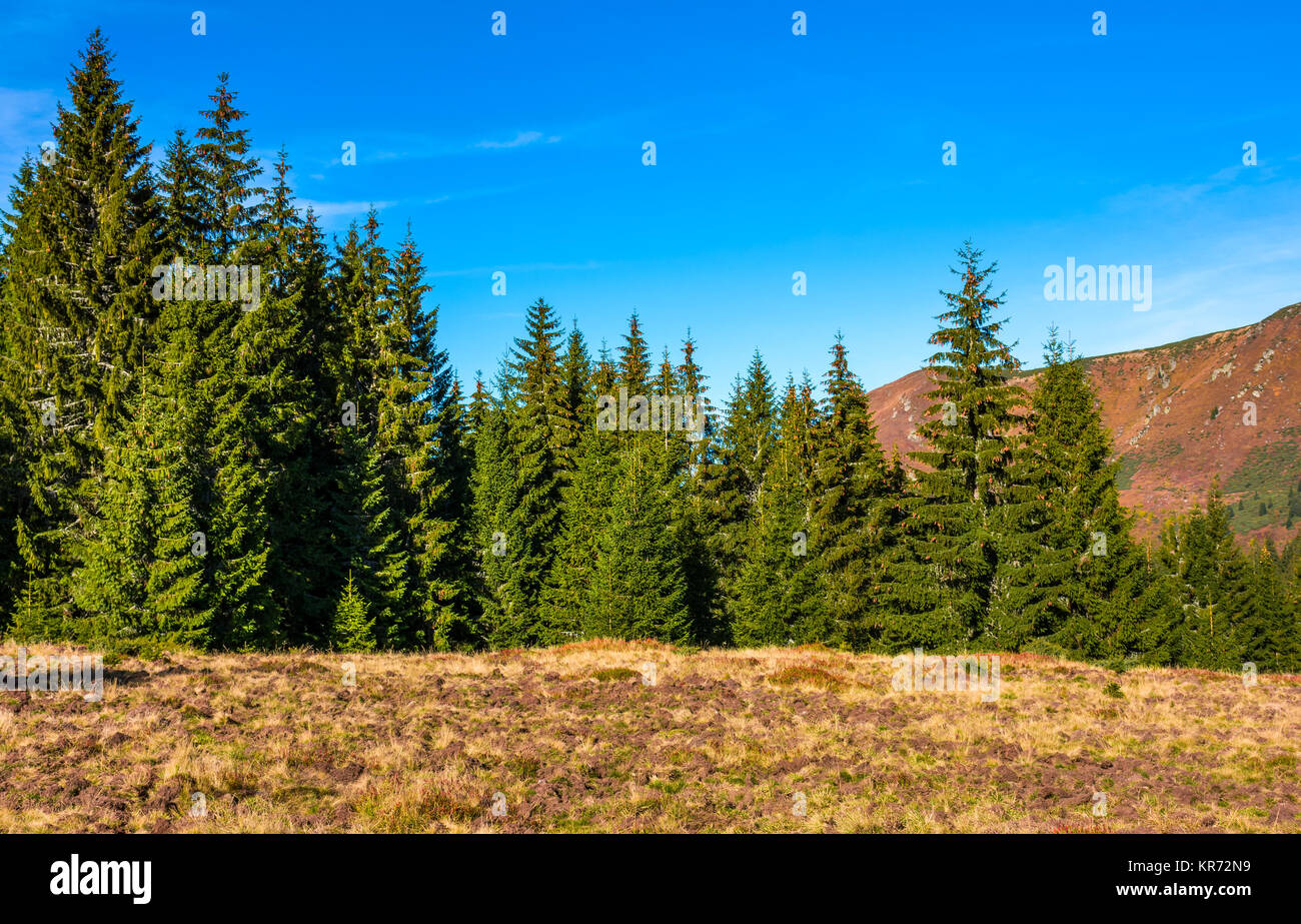 Classic Carpathian landscape. Autumn landscape in mountains of Romania. Conifer forest on hillsides of Apuseni National - Stock Image