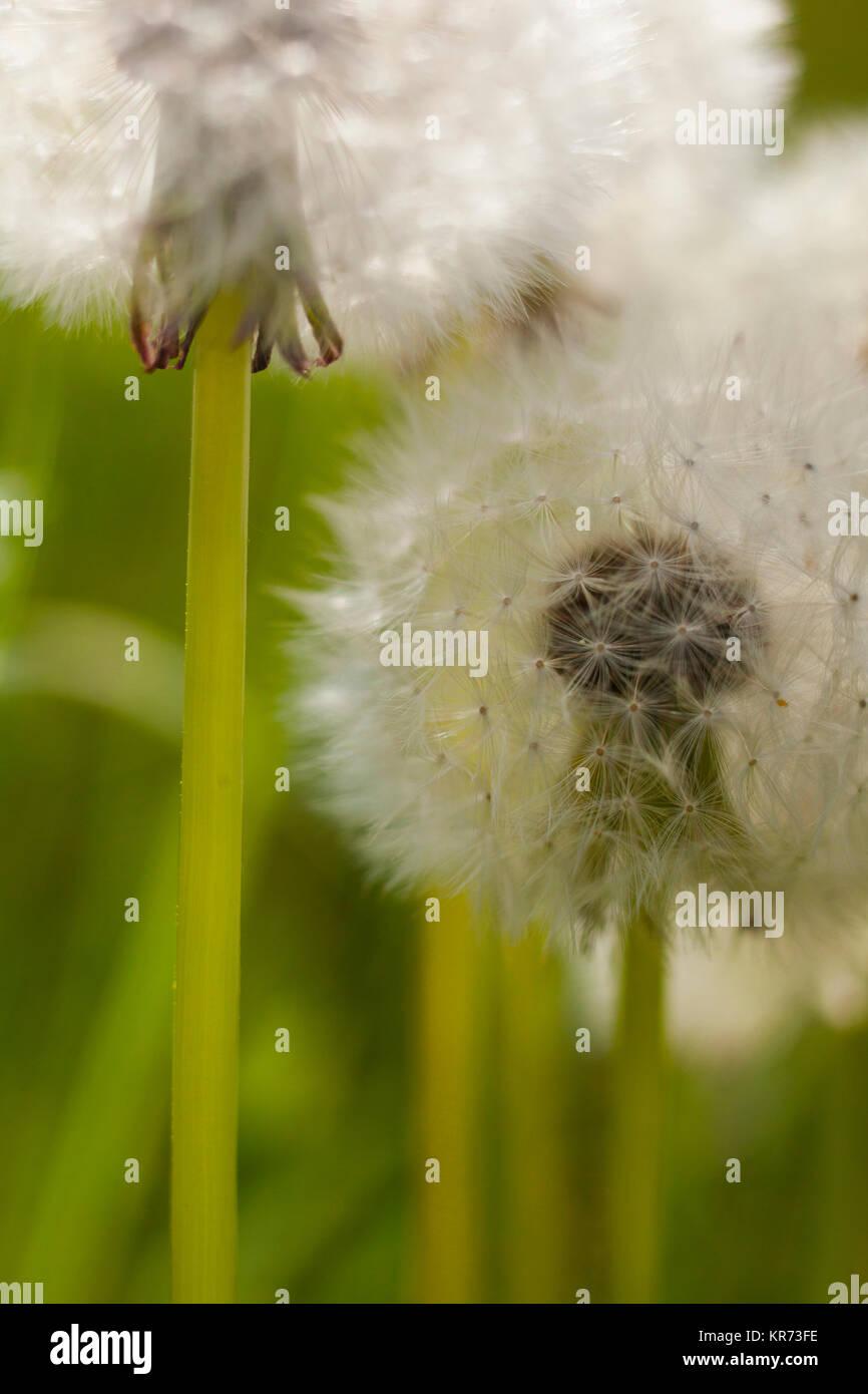 Dandelion clock, Taraxacum officinale, Close up of seedhead outdoor showing cypsela. - Stock Image
