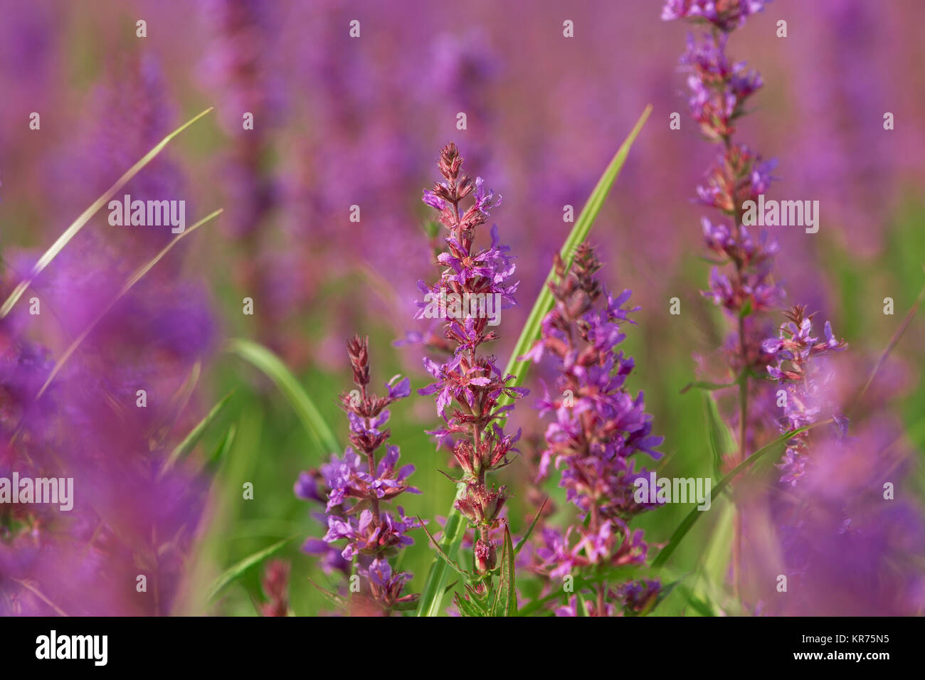 Tall Pink Flowers In Summer Meadow Stock Photo 169188577 Alamy