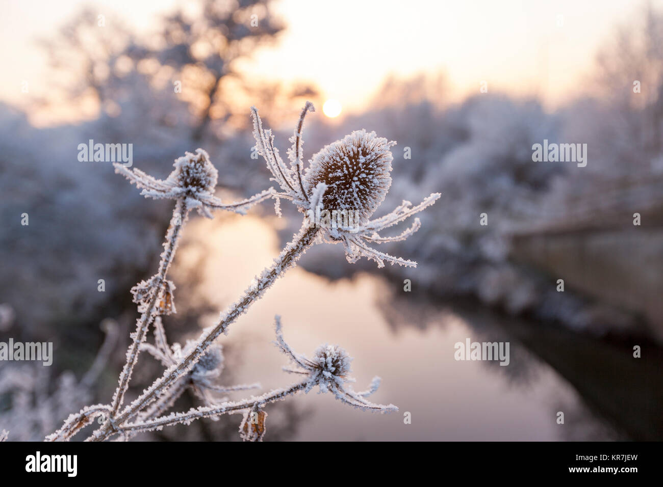 Close up of Frozen Teasel Plants beside a River in England, UK - Stock Image