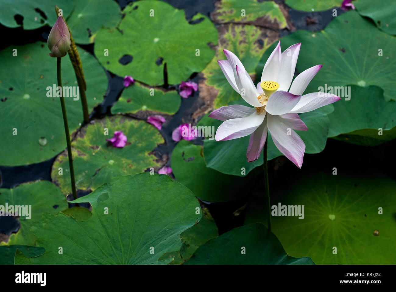 Vietnamese lotus stock photos vietnamese lotus stock images alamy lotus flower in a pond in the mekong delta in vietnam stock image mightylinksfo