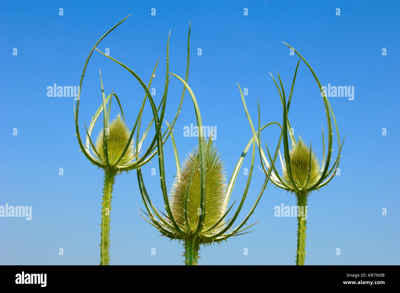 Flower Heads, Milk Thistle, Silybum marianum, aka Milkthistle, Blessed Milkthistle, Marian Thistle, Mary Thistle, - Stock Image