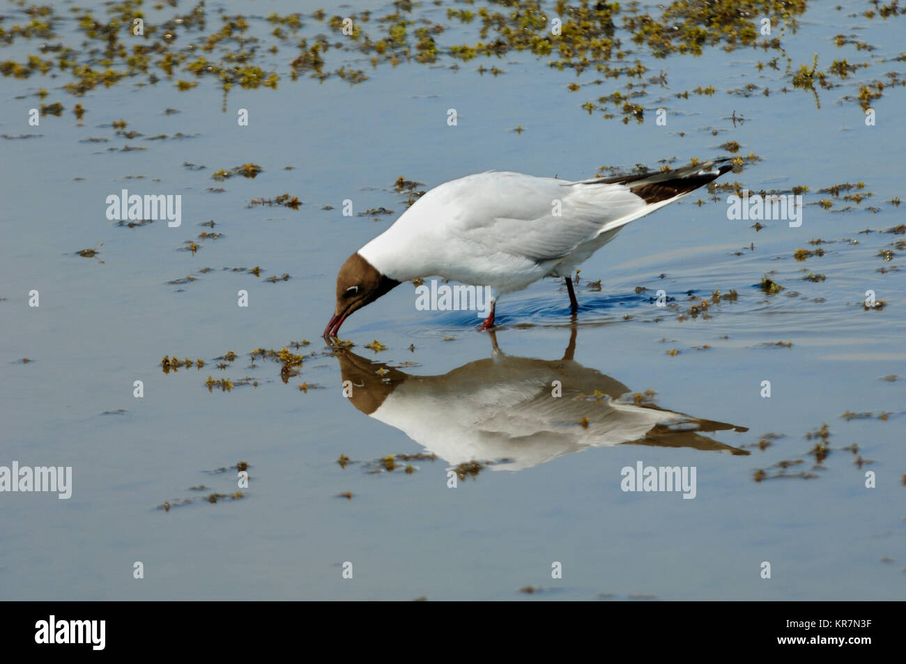 Black-Headed Gull, Larus ridibundus, Feeding in Shallows of Vaccarès Lake or Etang de Vaccarès, Camargue - Stock Image