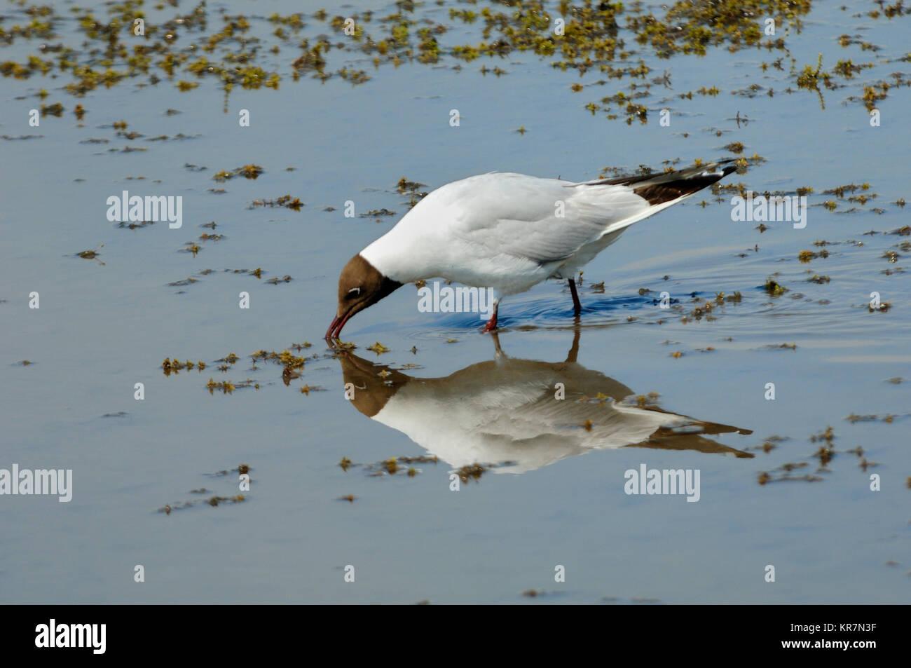 Black-Headed Gull, Larus ridibundus, Feeding in Shallows of Vaccarès Lake or Etang de Vaccarès, Camargue Wetlands, Stock Photo