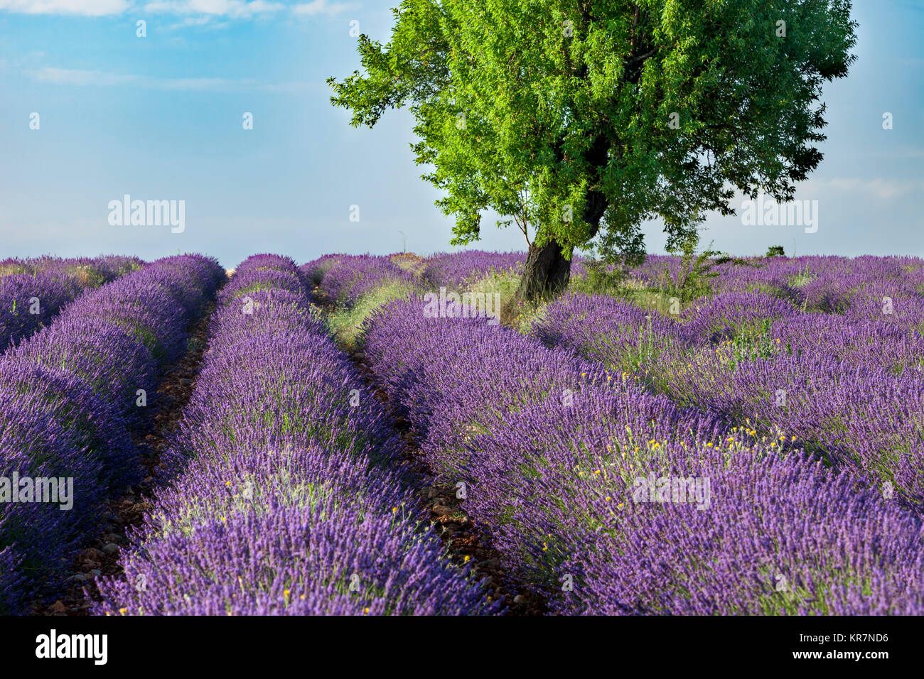 Rows of Lavender along the Valensole Plateau, Alpes- de-Haute-Provence, Provence France - Stock Image