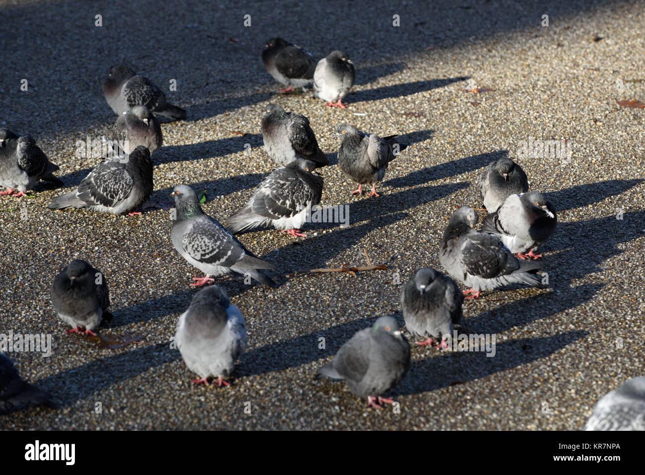 Pidgeons in London - Stock Image