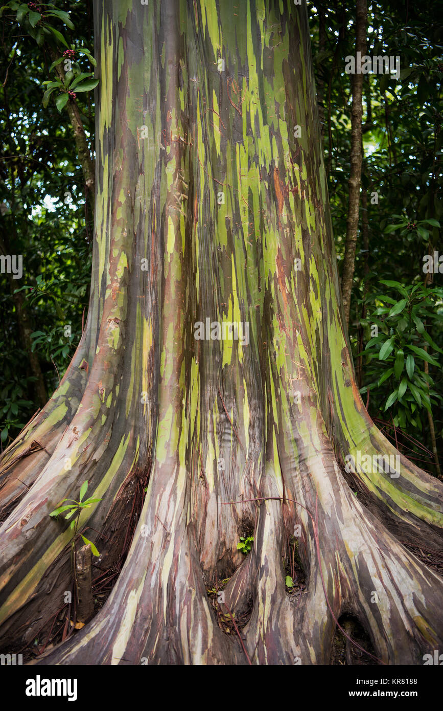 Rainbow Eucalyptus (Eucalyptus deglupta) seen on thr road to Hana, Maui. The unique multi-hued bark is the most Stock Photo