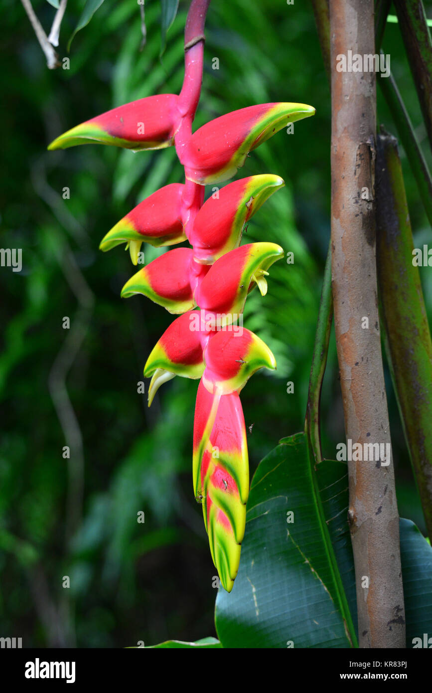heliconia,blossom,tropical - Stock Image